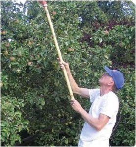 Fruit tree gleaning