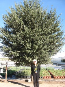 Joan Lionetti and her tree